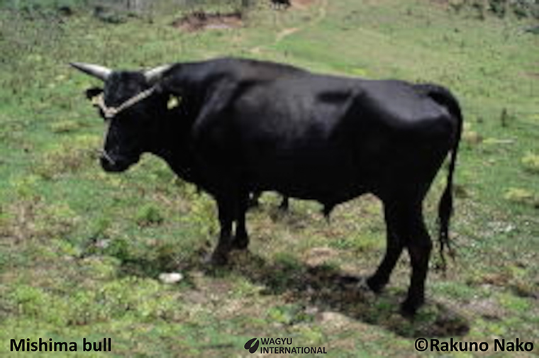 Photo of Mishima bull an indigenous beef cattle breed from Japan with renowned marbling