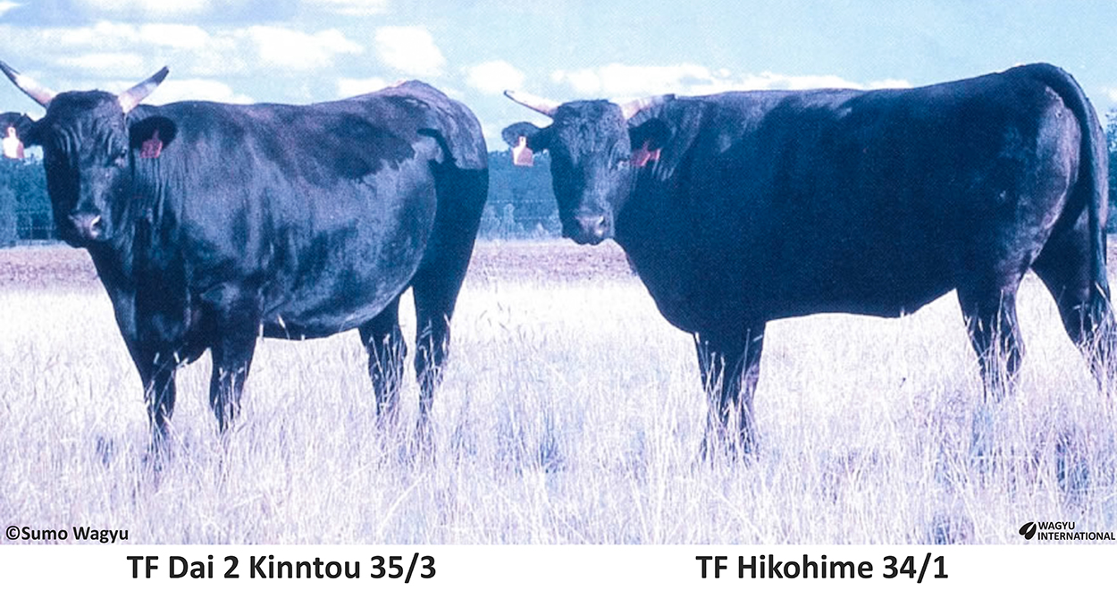 Two heifers imported as embryos from Shogo Takeda consignment by Simon Coates Sumo Wagyu to Australia 1996